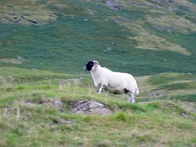 A Proud Highland Sheep